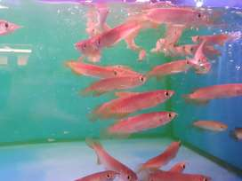 Ikan hias arwana banjar +10cm