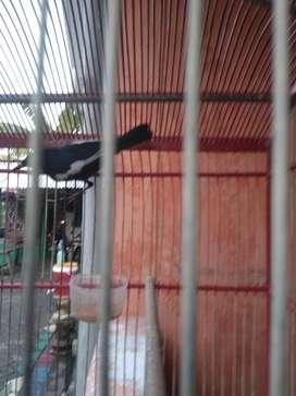 Burung Kacer dahit dada hitam bunyi por total ful set