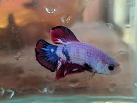 Ikan Cupang / Betta Fish Candy Multicolour