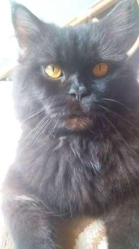LA kucing jantan dewasa persia mix mc