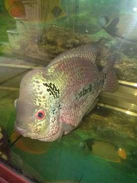 Flowerhorn Fish imported