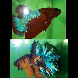 2 ekor 50.000, Ikan Laga/Cupang Hias (Male)