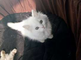 Cutest Persian kittens available