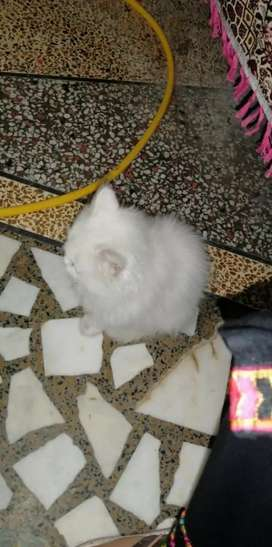 MALE PERSIAN CAT FOR SALE AGE 5 MONTHS..