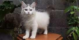 kucing persia medium jantan blue van lucu