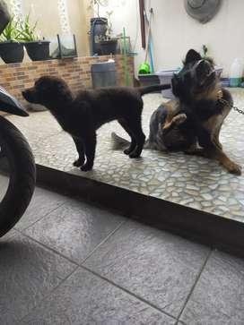 Jual anak anjing betina untuk pecinta anjing