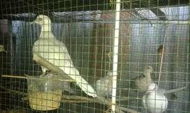 Jual Murah sepasang  burung tekukur bali