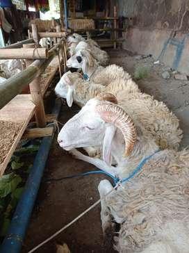 Domba Qurban Jogja Istimewa