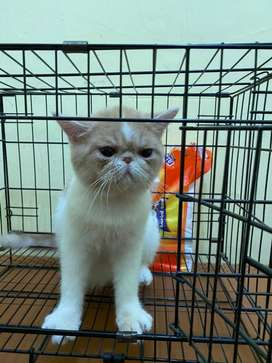 Kucing peaknose exotic shorthair