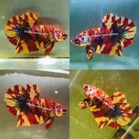 Ikan Cupang Plakat Nemo Leopard (Grade A+)