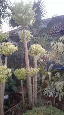 Pohon hias bonsai kuning anting putri