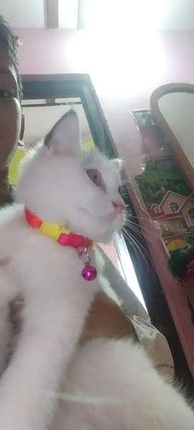 Percian cat