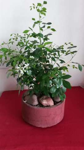 Bonsai flowering plant 5 years