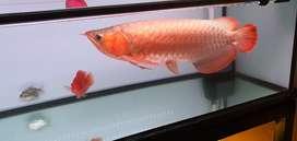 Arwana / Arowana Super Red 50cm
