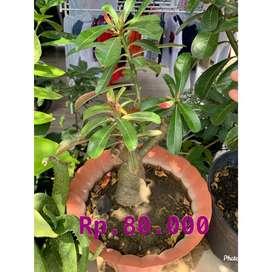 Adenium pink sesuai foto
