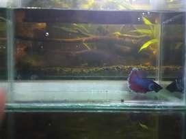Soliter / Akuarium Ikan Cupang