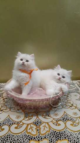 Long fur cute Persian cat kitten sale all India delivery
