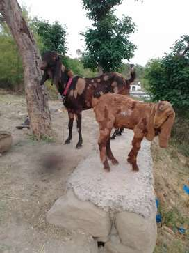 Goat for sale in Kahuta Rawalpindi