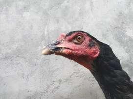 D jual 1 jodoh ayam BK Dan babon birma