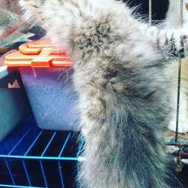 Kucing persia murah