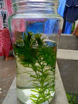 Aquarium Plant's Available