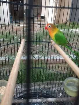 Lovebird paud prestasi