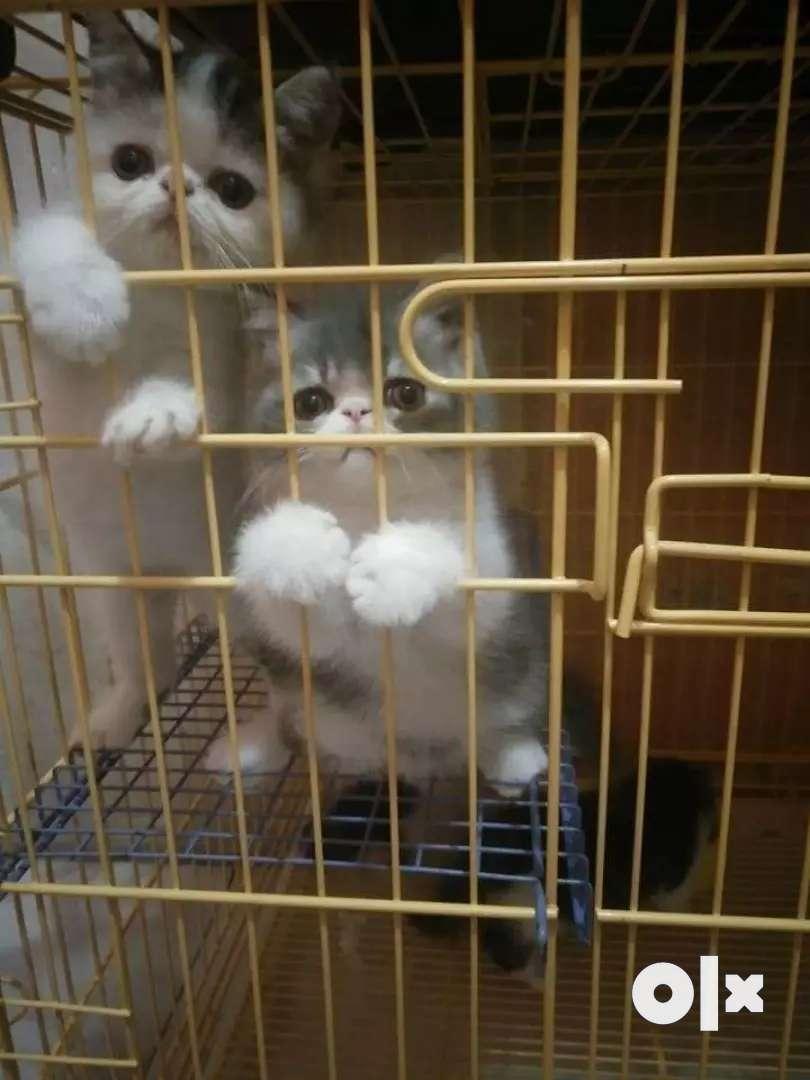 Russian cat kitten 0