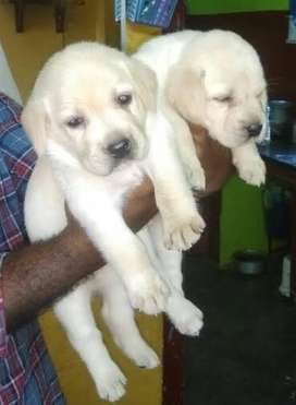 Show class labrador puppies from top notch pedigree lines