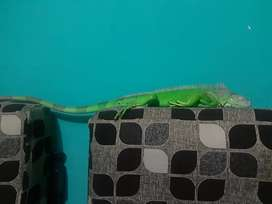 Green Iguana 1 M joss spike mantep