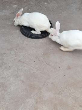 Red eyes white breeder rabbits for sale