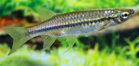 Flying Barbs fish 35 rs per piece or 360 rs dozen