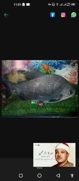 sale or.exchange 13 inch paco fish healthy