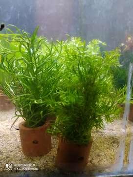 Tanaman aquascape cemara air