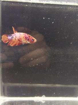 Ikan cupang nemo(male)