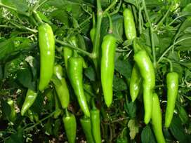 Green chillies(Home delivery also)
