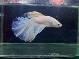Fighter Fish