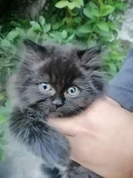 Punch face persian male kitten for sale