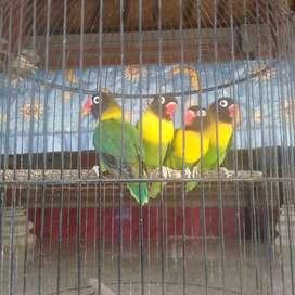 lovebird dakori