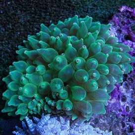 Bubble tip anemone for 1000