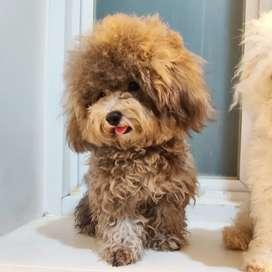 Jasa pacak anjing toy silver poodle kecil