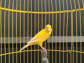 Kenari Hybrid kuning bon sedikit gacor dor muda berbakat