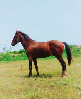 Horse for sale age 15 moth Rs 160000