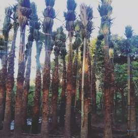 Pohon palem Sadeng pohon palm sadeng