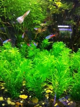 Tanaman air egeria densa aquascape /aquarium