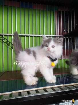 Kitten persian jantan warna abu putih,  muka cakep & imut