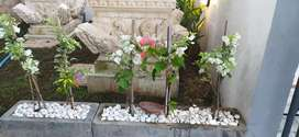Kembang kertas, bunga bougenvil, tanaman hias, bunga kertas