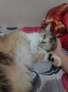 Kucing persia calico