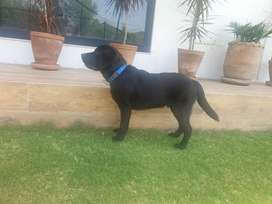 black lab for sale in islamabad