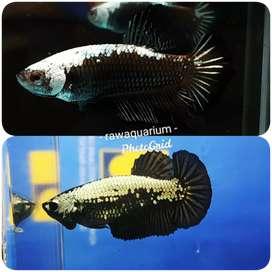 Ikan cupang black samurai sepasang size m