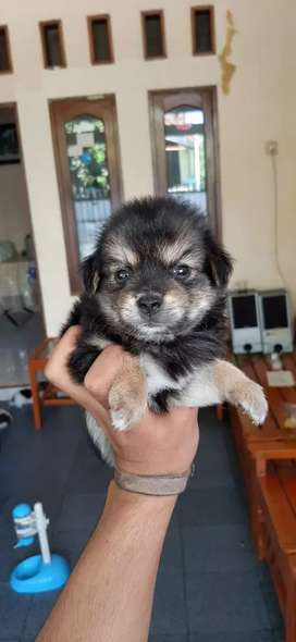 anak anjing /puppy mix pom shitzu 2bln